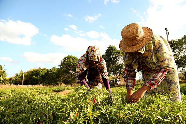Farmers on a Sri Lankan farm where crop rotations of chilli, rice and other crops are practised, here harvesting chilli peppers. Credit: Bioversity International/S.Landersz
