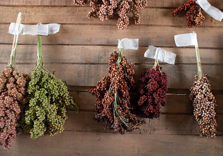 Sorghum varieties in Tanzania. Credit: Bioversity International/J. Van De Gevel