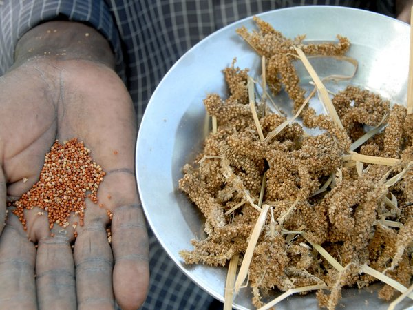 Finger millet is one of the crops covered under the Plant Treaty's Multilateral System for Access and Benefit Sharing. Credit: Bioversity International/Y.Wachira