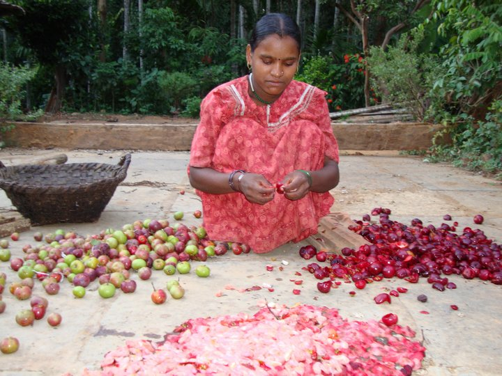 Young woman processing Garcinia indica fruit. Credit: Bioversity International/N.Hegde