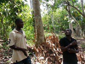 Cocoa farmers in Ghana discussing cacao management. Credit: Bioversity International/D. Stoian