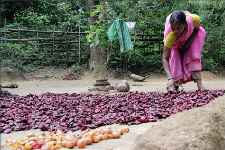 Drying kokum fruit in the sun before they are made into other products. The rinds are used to make beverages and slimming products. Credit: Bioversity International/E.Hermanowicz