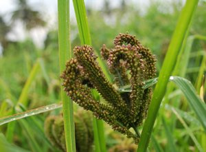 Indian millet. Credit: Bioversity International/S.Padulosi
