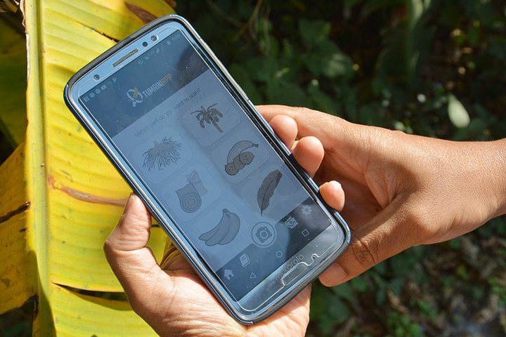 The detection tool is built in a mobile app called Tumaini – which means 'hope' in Swahili – and is designed to help smallholder banana growers quickly detect a disease or pest and prevent a wide outbreak from happening. Credit: CIAT
