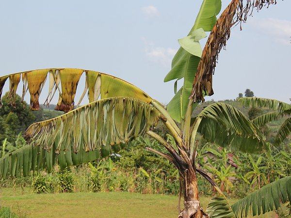 Banana plant affected by Xanthomonas Wilt (BXW), Uganda.