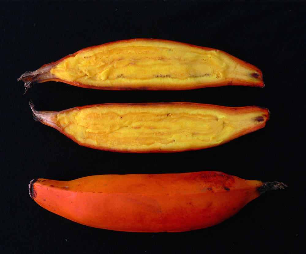 Orange-fleshed Fei banana, rich in vitamin A. Credit: Bioversity International/A.Vézina, courtesy of www.musarama.org