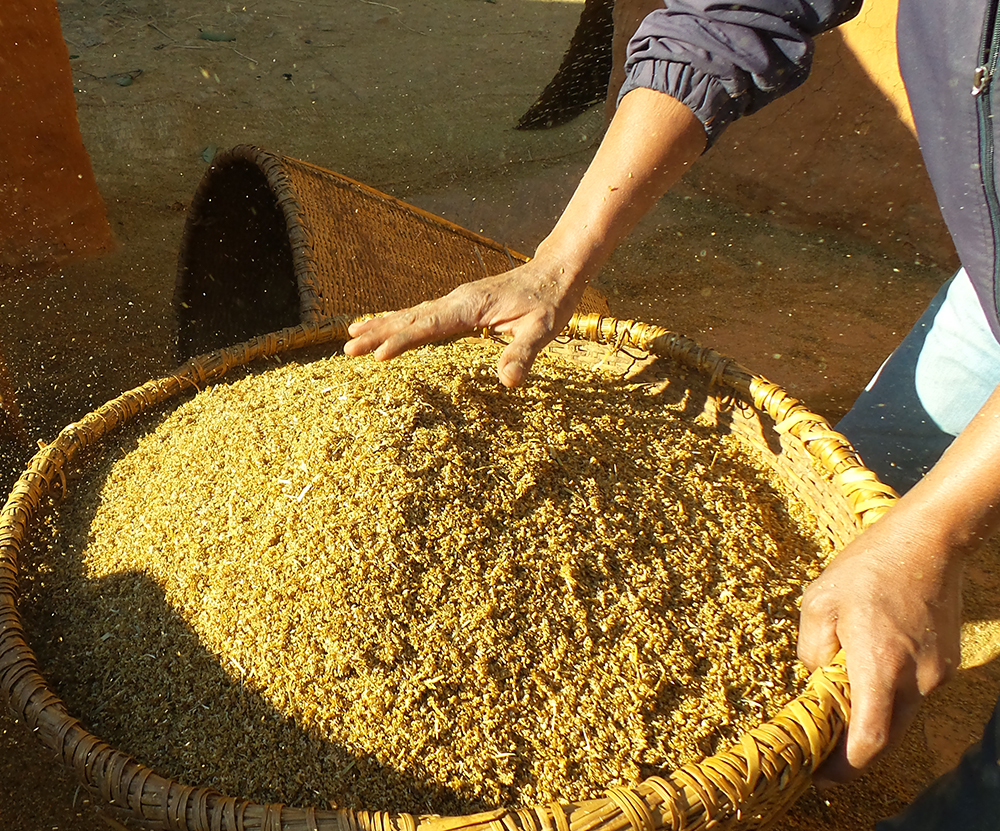 Collecting the husk from threshed finger millet in Dolakha, Nepal. Credit: Bioversity International/G.Meldrum