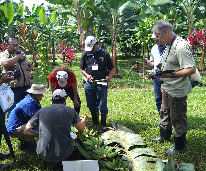 Field work during the MusaNet Regional Workshop on Musa Characterization and Documentation in Costa Rica. Credit: Bioversity International/M.Ruas