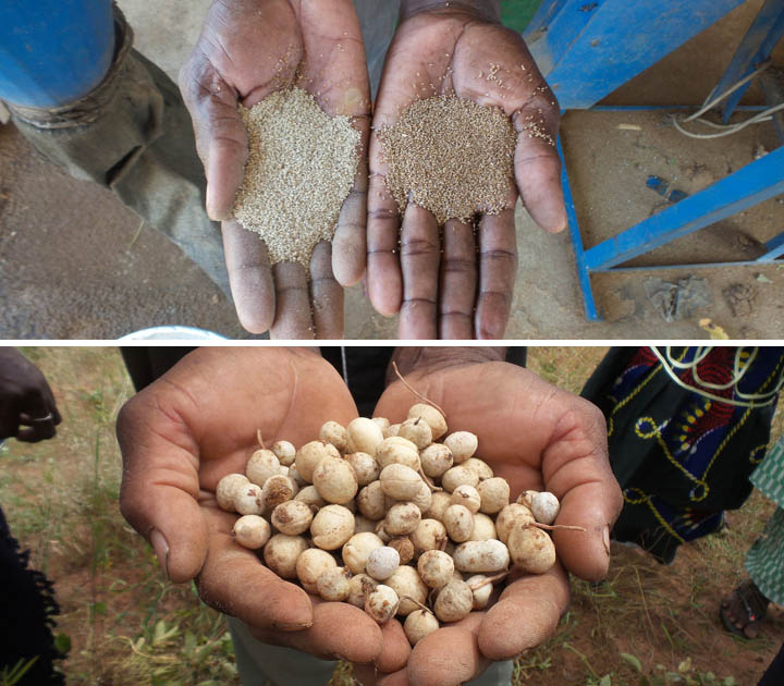Fonio (above) and Bambara groundnut harvested in Mali. Credit: Bioversity International/G.Meldrum