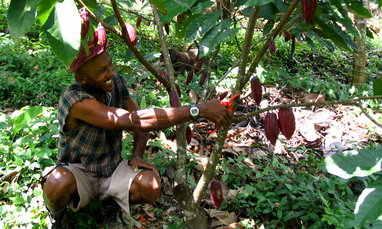 Investing in new cacao plants today for a more sustainable investing in new cacao plants today for a more sustainable chocolate supply tomorrow sciox Image collections