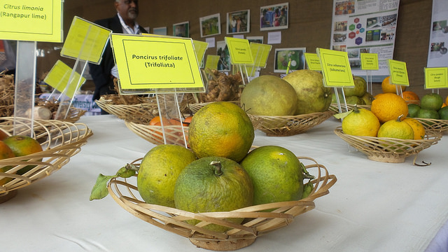 Citrus diversity. Material, courtesy of NBPGR, displayed at Indigenous Terra Madre in Shillong, India. Credit: Bioversity International/G. Meldrum