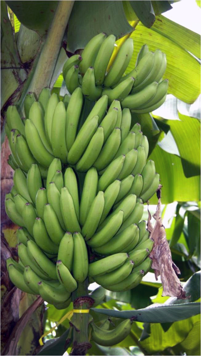 A bunch of GCTCV 219 banana, a variety resistant to Fusarium wilt Tropical Race 4. Credit: BAPNET