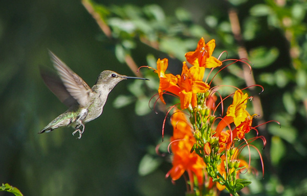 Hummingbirds are important pollinators. Credit: Steve's Web Hosting