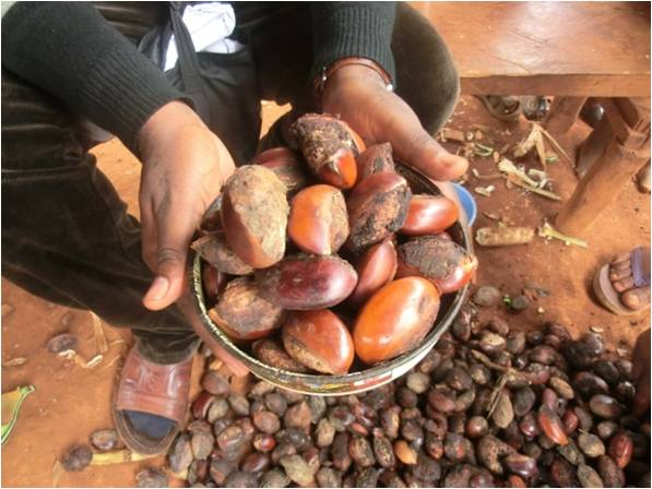 Moabi Fruit. Cameroon. Credit: Bioversity International/J. Tieguhong