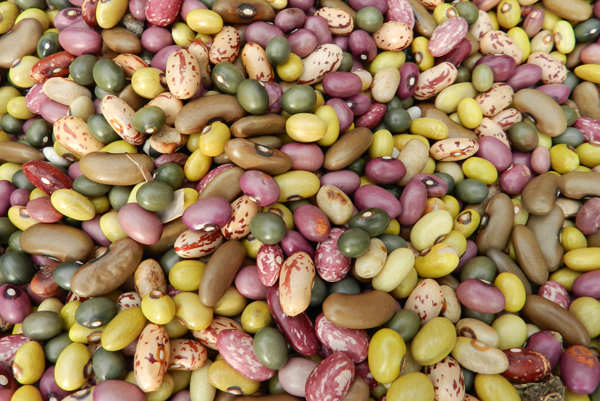 Different bean varieties in Uganda. Credit: Bioversity International/D.Jarvis