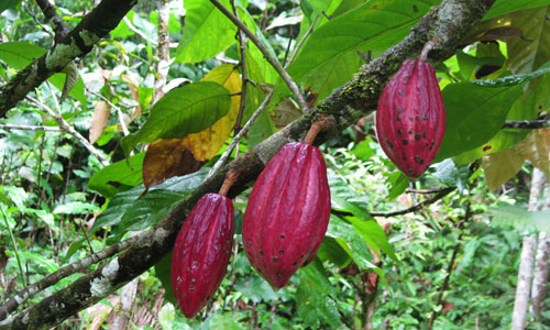 Cacao pods grown in Malaysia. Credit: Bioversity International/B.Sthapit