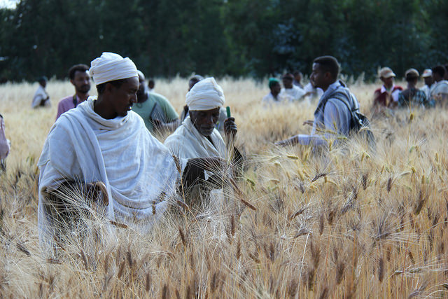 Farmers attending a field day to learn about the trials of durum wheat at Geregera. A Seeds for Needs field trip, Ethiopia, 2015. Credit: Bioversity International/S.Collins