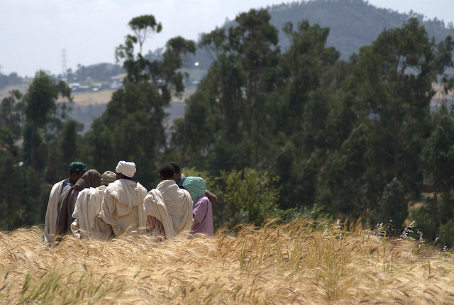 Farmers evaluating traits of wheat varieties, Ethiopia. Credit: Bioversity International/J.van de Gevel