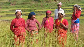 Participatory breeding of rice in Nepal. Credit: Bioversity International/B.Sthapit