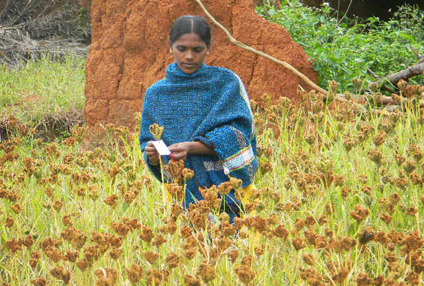 Woman in a millet field. Credit: Bioversity International/S.Padulosi