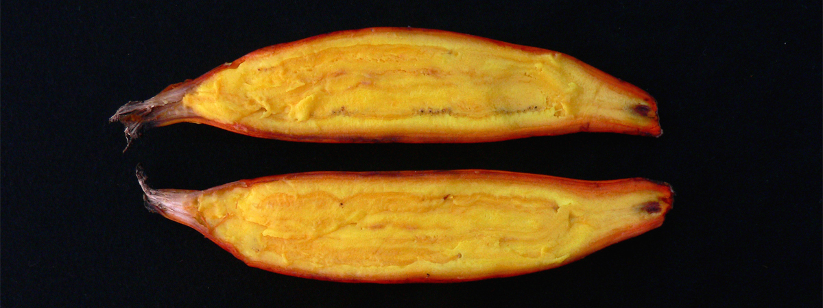 Orange-fleshed Fei banana, rich in vitamin A. Credit: Bioversity International/A. Vézina, courtesy of www.musarama.org