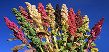 A selection of quinoa. Credit: Bioversity International/D. Astudillo