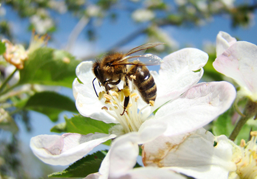 Bee pollinating apple blossom. Credit: N.Pirch