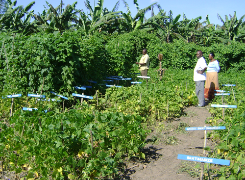 Intraspecific diversity in field plots to test for resistance to ALS, Anthracnose, and beanfly, Uganda. Credit: Bioversity International/D.Jarvis